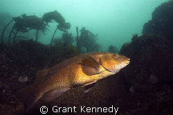 Ballan Wrasse, St Abbs  by Grant Kennedy 